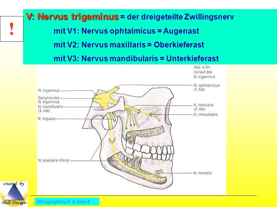 ! V: Nervus trigeminus = der dreigeteilte Zwillingsnerv