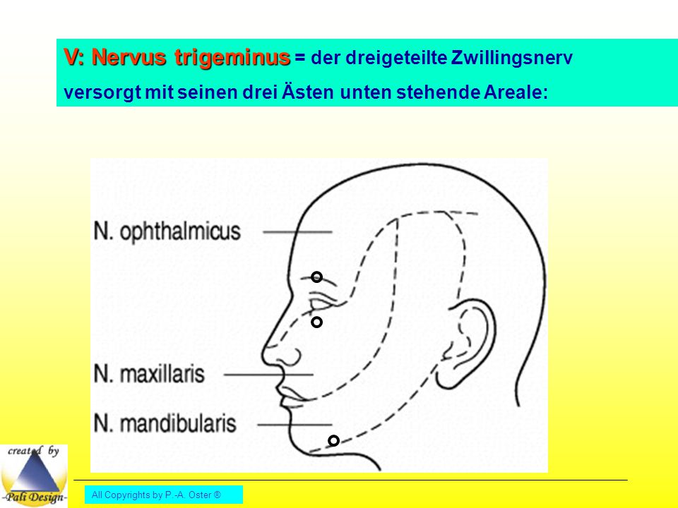 V: Nervus trigeminus = der dreigeteilte Zwillingsnerv