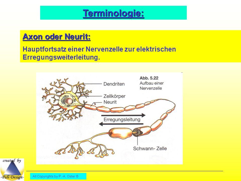 Terminologie: Axon oder Neurit: