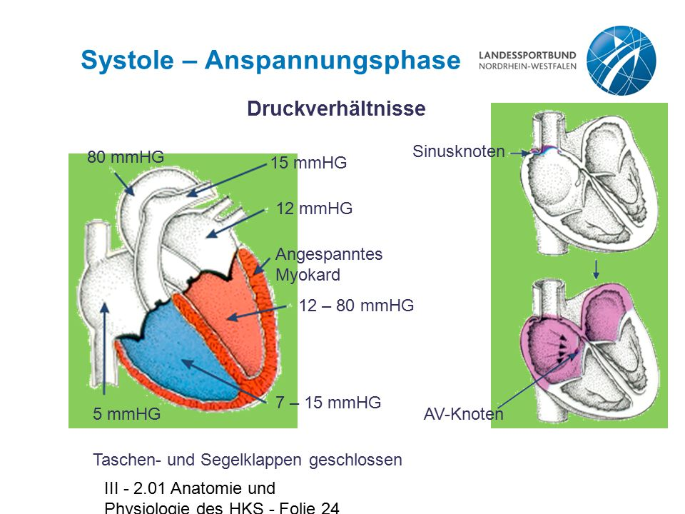 Systole – Anspannungsphase