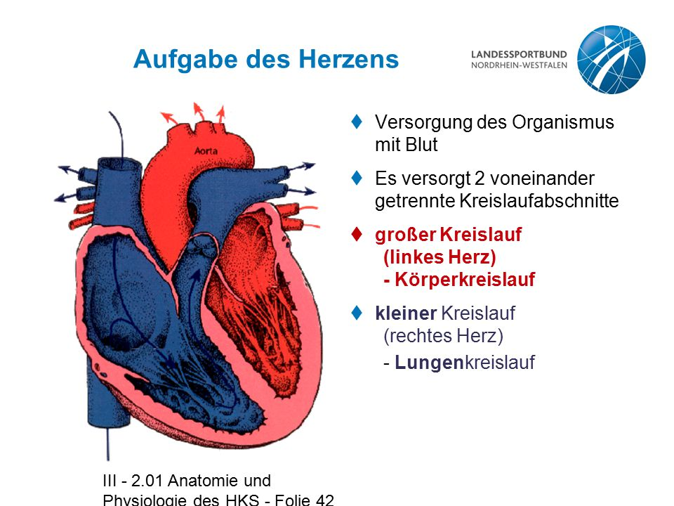 Aufgabe des Herzens Versorgung des Organismus mit Blut