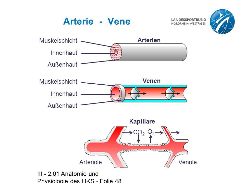 Arterie - Vene Muskelschicht Innenhaut Außenhaut Arterien
