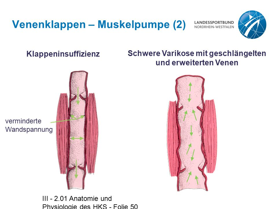 Venenklappen – Muskelpumpe (2)