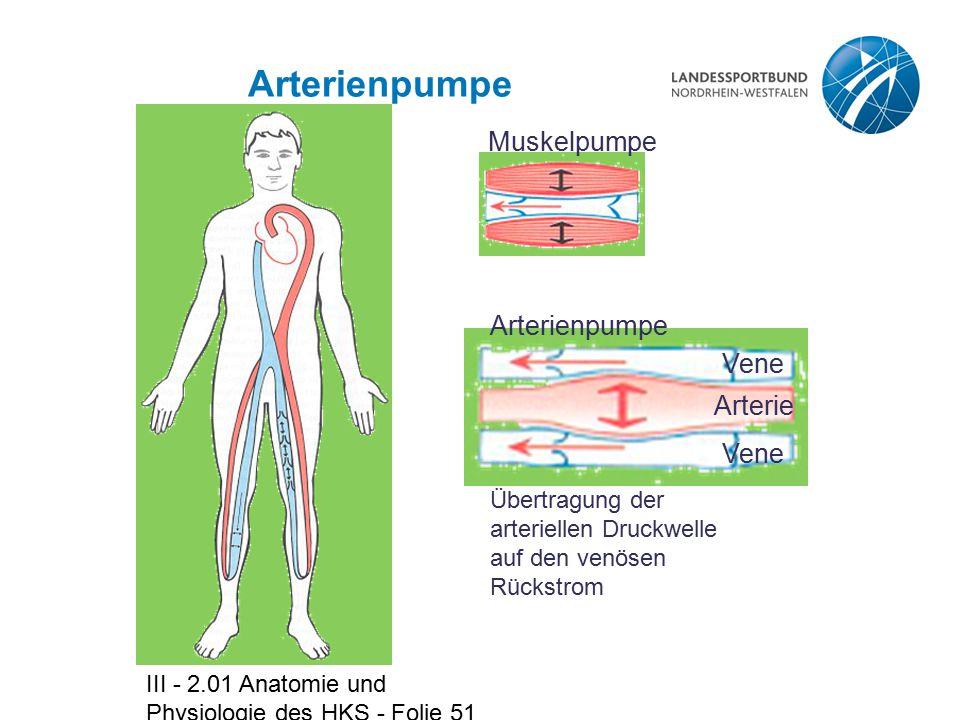 Arterienpumpe Muskelpumpe Arterienpumpe Vene Arterie