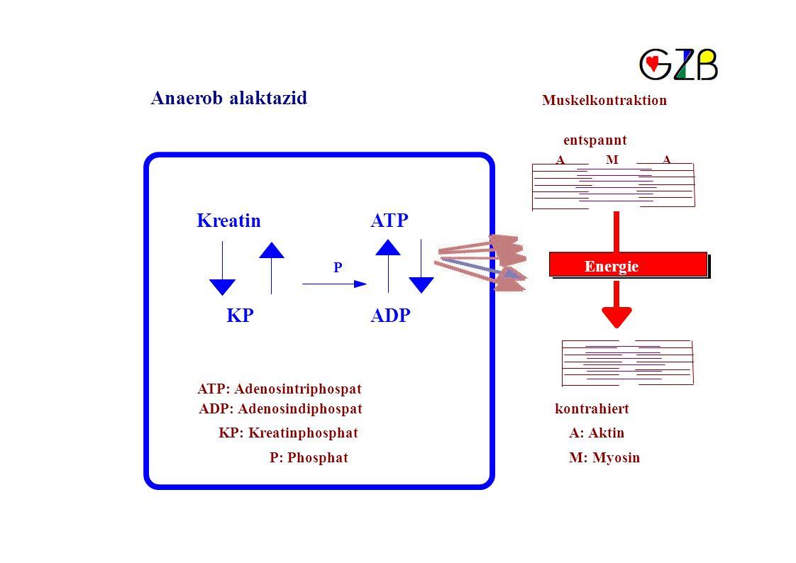 Anaerob alaktazid Kreatin ATP KP ADP Energie Muskelkontraktion