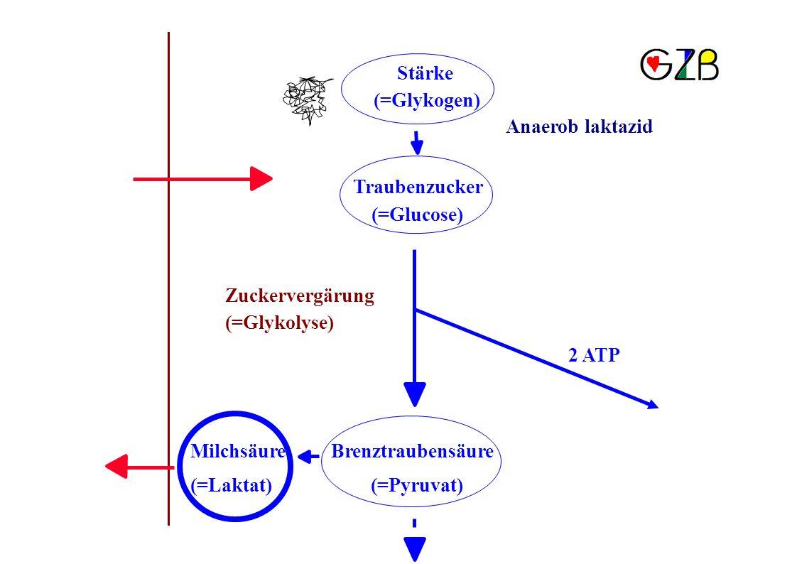 Stärke (=Glykogen) Anaerob laktazid. Traubenzucker. (=Glucose) Zuckervergärung. (=Glykolyse) 2 ATP.