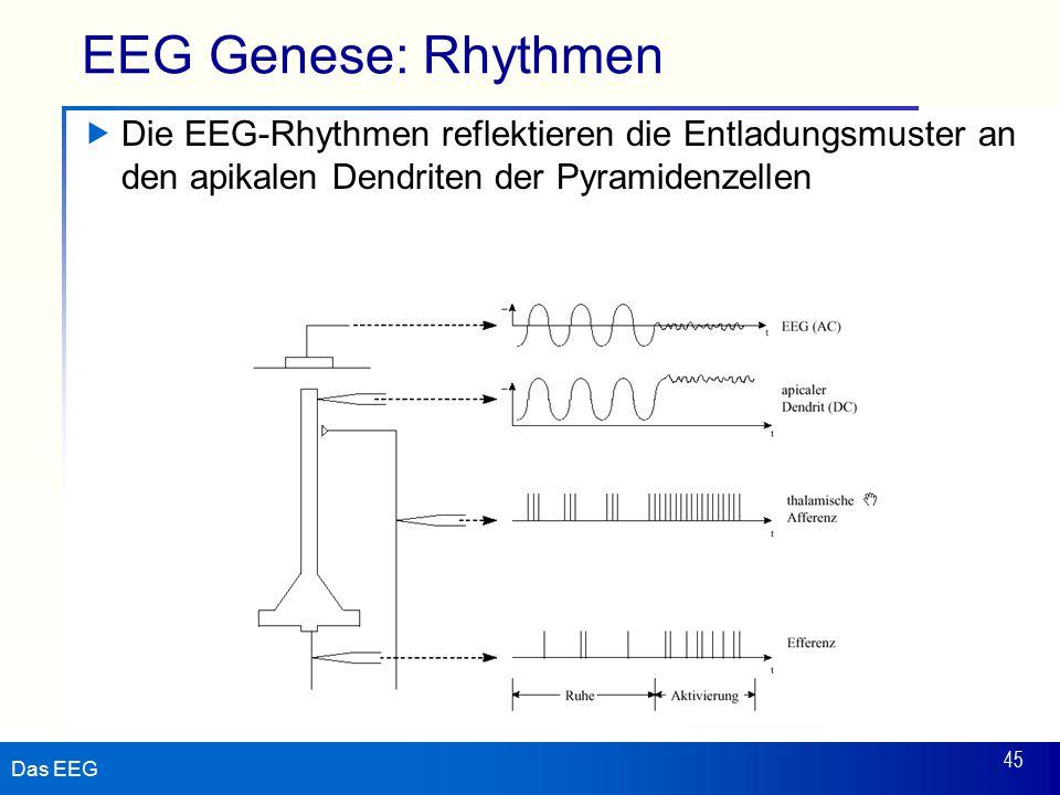 EEG Genese: Rhythmen Die EEG-Rhythmen reflektieren die Entladungsmuster an den apikalen Dendriten der Pyramidenzellen.