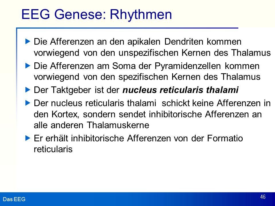 EEG Genese: Rhythmen Die Afferenzen an den apikalen Dendriten kommen vorwiegend von den unspezifischen Kernen des Thalamus.