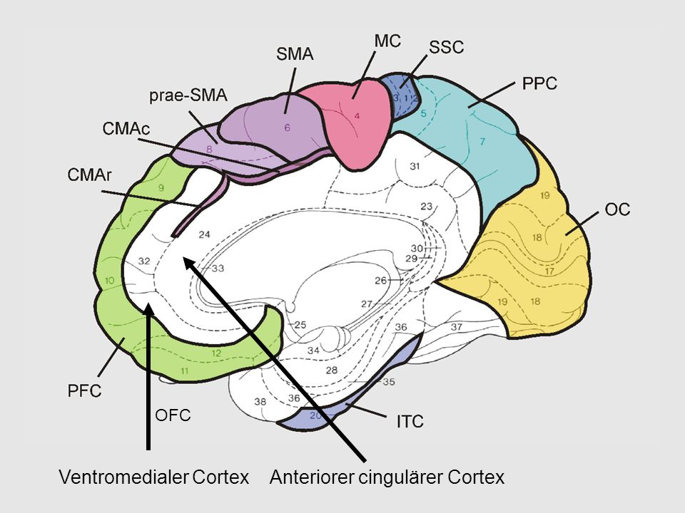 Ventromedialer Cortex Anteriorer cingulärer Cortex
