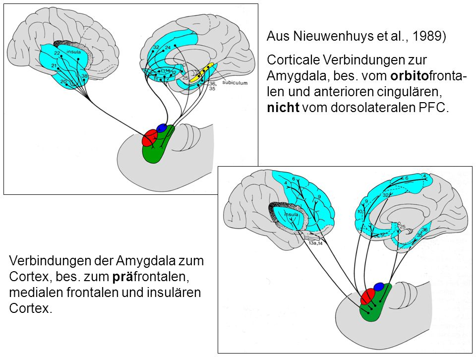 Aus Nieuwenhuys et al., 1989) Corticale Verbindungen zur Amygdala, bes. vom orbitofronta-len und anterioren cingulären, nicht vom dorsolateralen PFC.