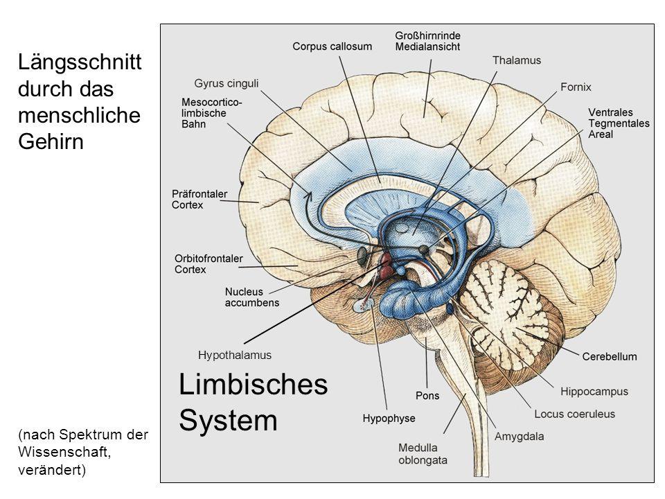 Limbisches System Längsschnitt durch das menschliche Gehirn