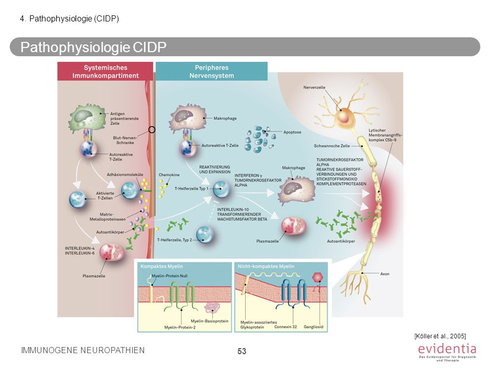 Pathophysiologie CIDP