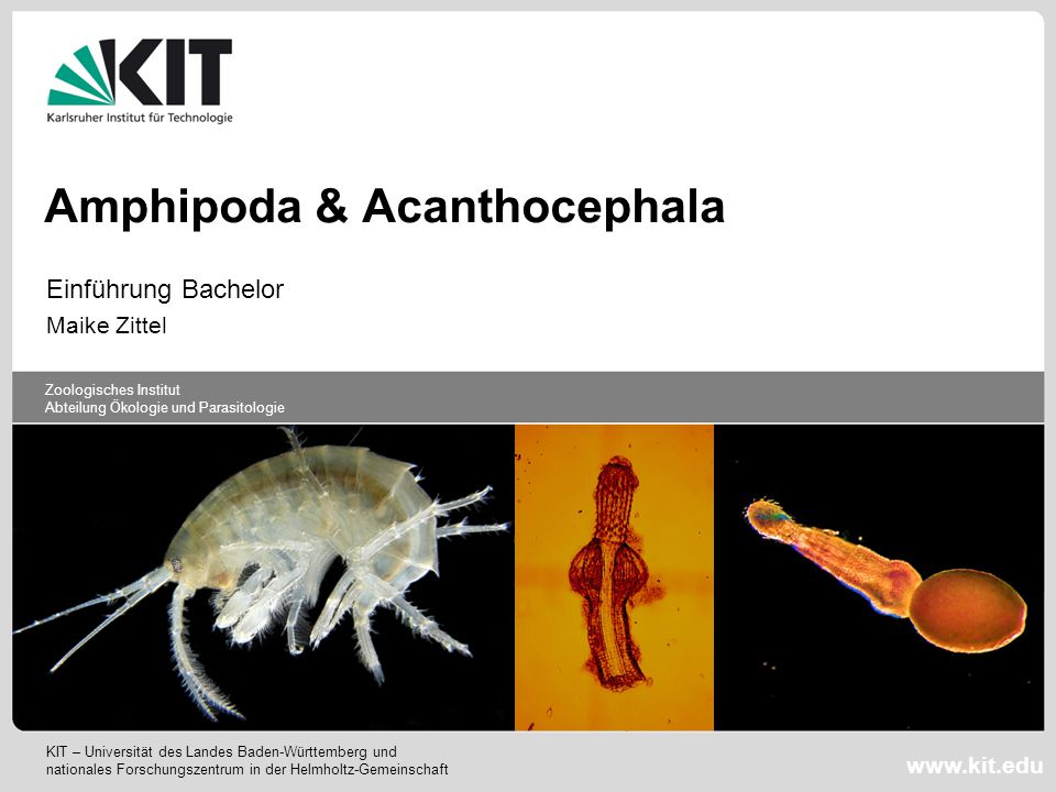 Amphipoda & Acanthocephala