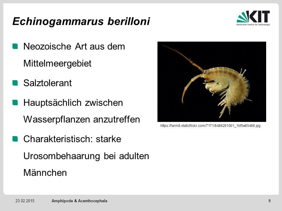 Echinogammarus berilloni