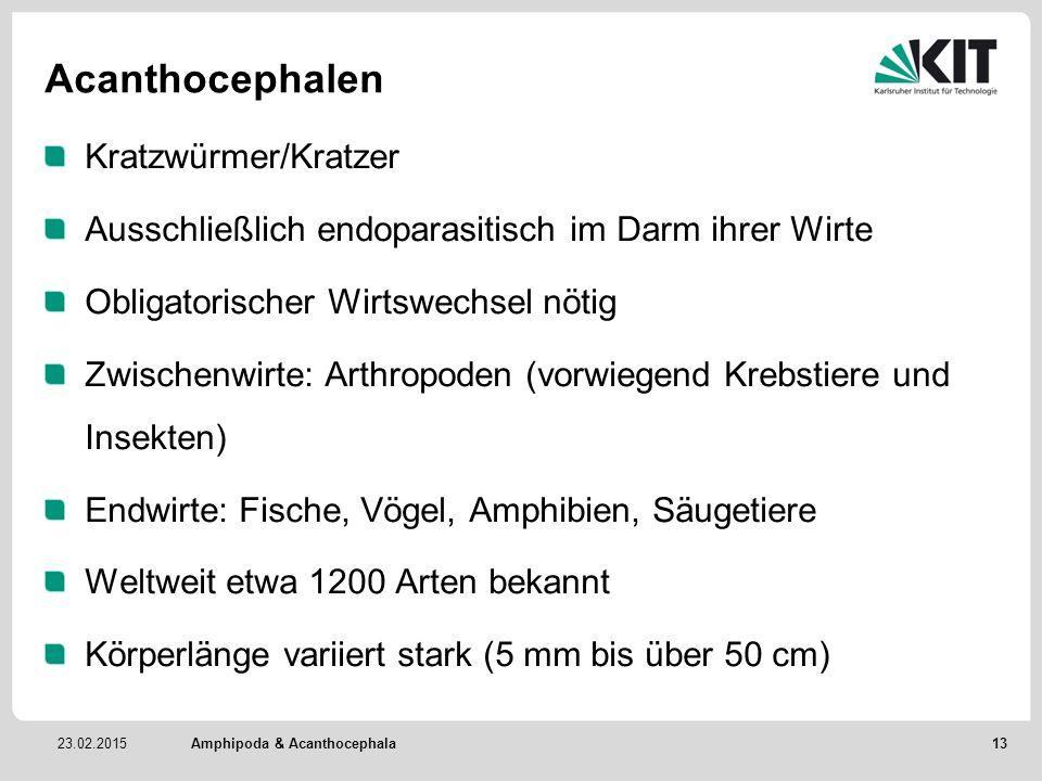 Acanthocephalen Kratzwürmer/Kratzer