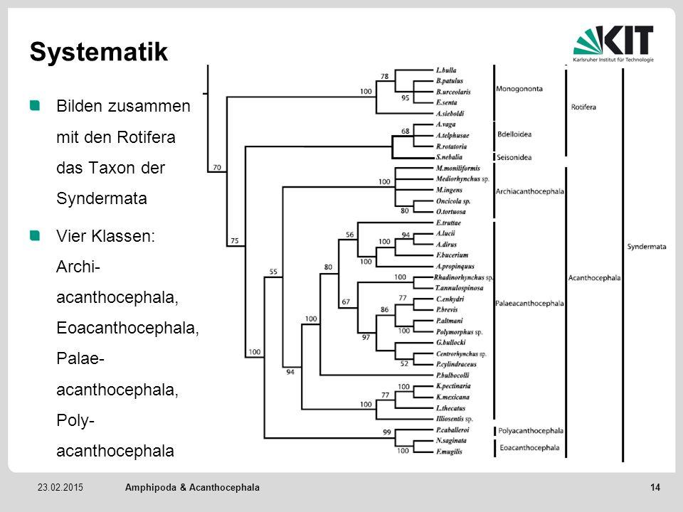 Systematik Bilden zusammen mit den Rotifera das Taxon der Syndermata