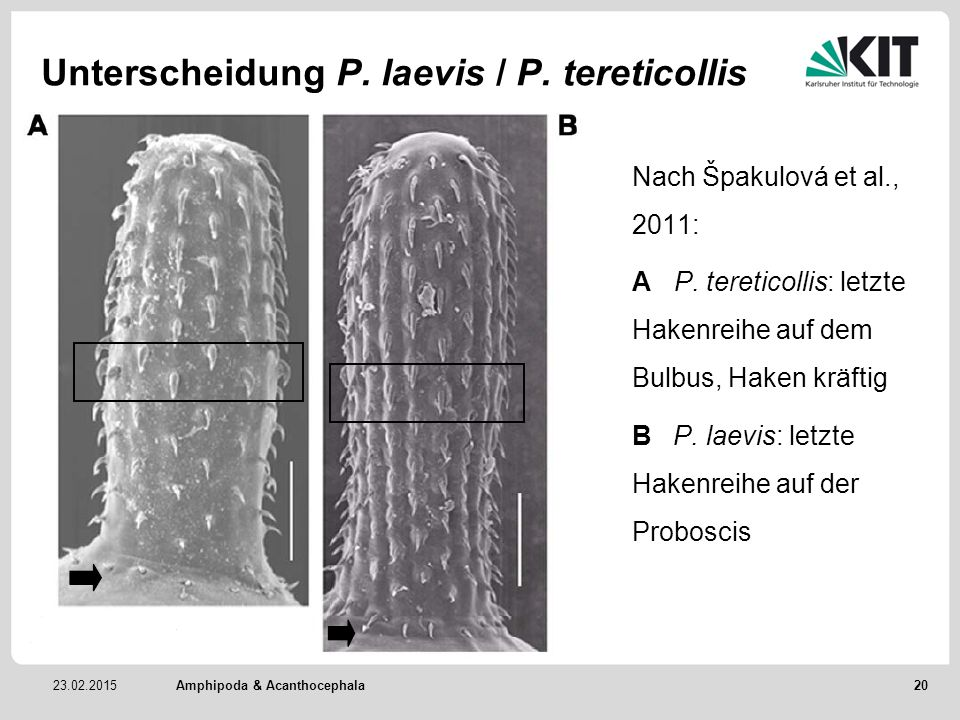 Unterscheidung P. laevis / P. tereticollis