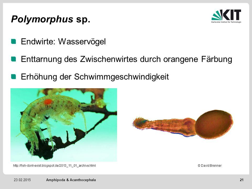 Polymorphus sp. Endwirte: Wasservögel