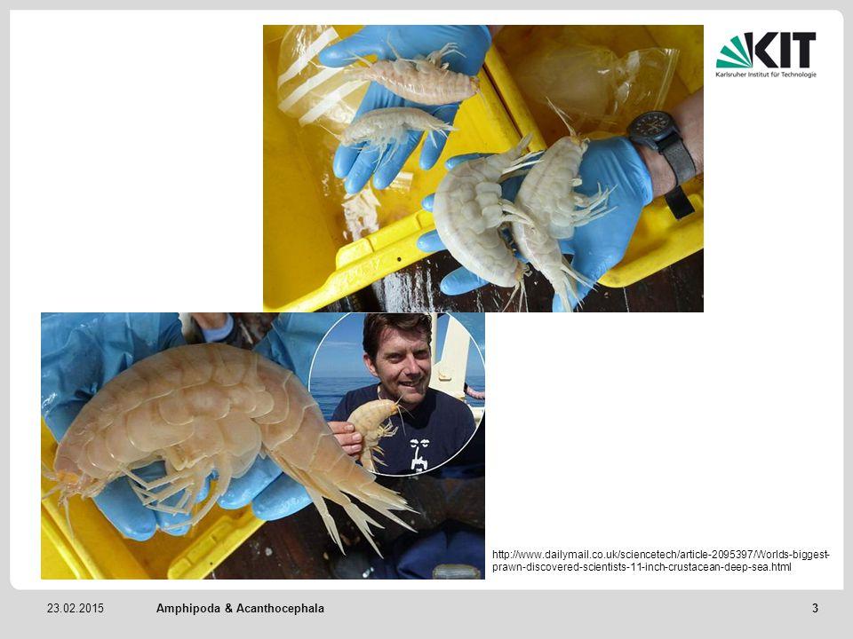 Amphipoda & Acanthocephala 3