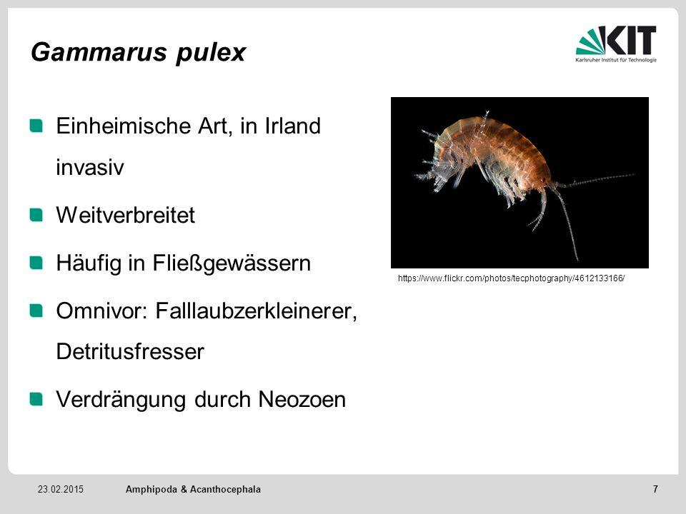 Gammarus pulex Einheimische Art, in Irland invasiv Weitverbreitet