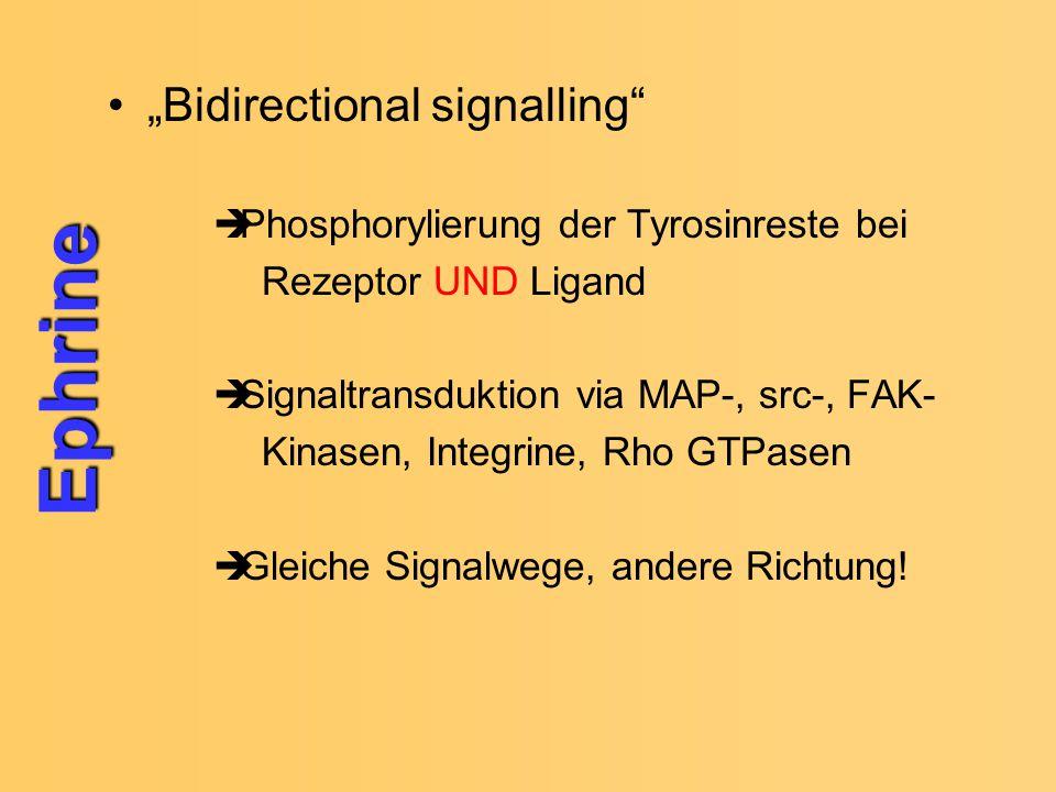 """Ephrine """"Bidirectional signalling"""
