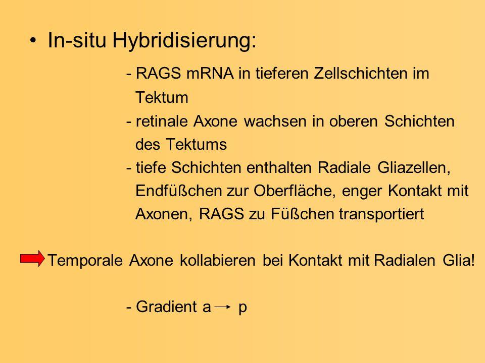 In-situ Hybridisierung: - RAGS mRNA in tieferen Zellschichten im
