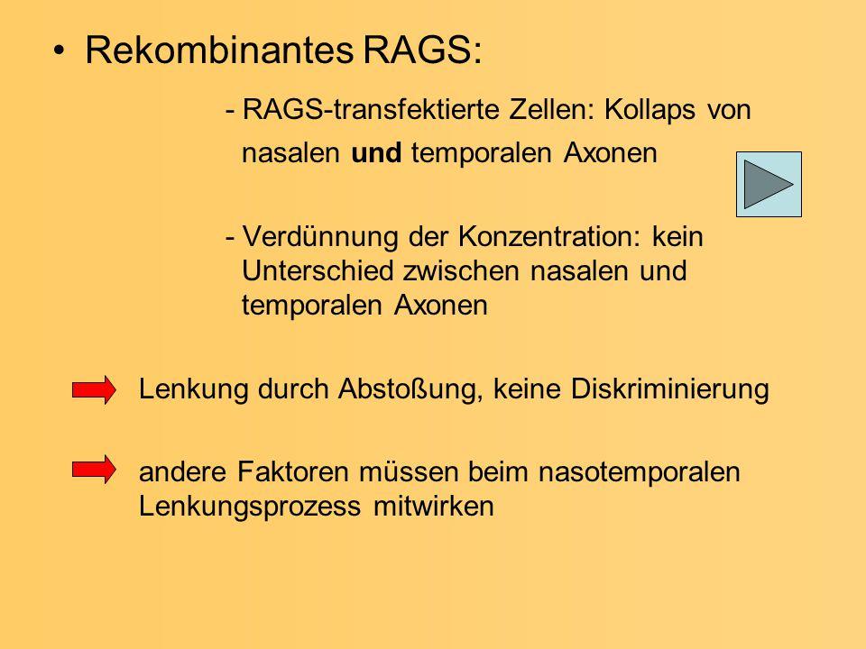 - RAGS-transfektierte Zellen: Kollaps von