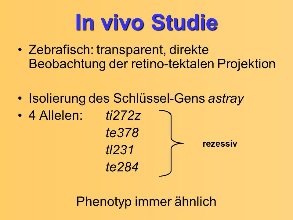 In vivo Studie Zebrafisch: transparent, direkte Beobachtung der retino-tektalen Projektion. Isolierung des Schlüssel-Gens astray.