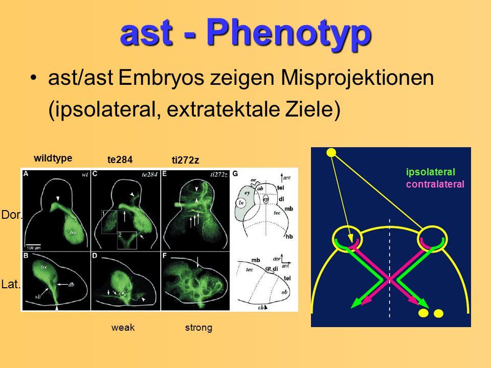ast - Phenotyp ast/ast Embryos zeigen Misprojektionen