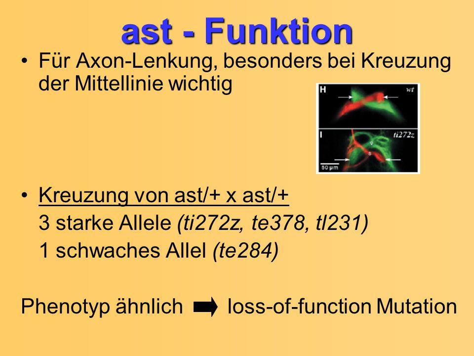 ast - Funktion Für Axon-Lenkung, besonders bei Kreuzung der Mittellinie wichtig. Kreuzung von ast/+ x ast/+