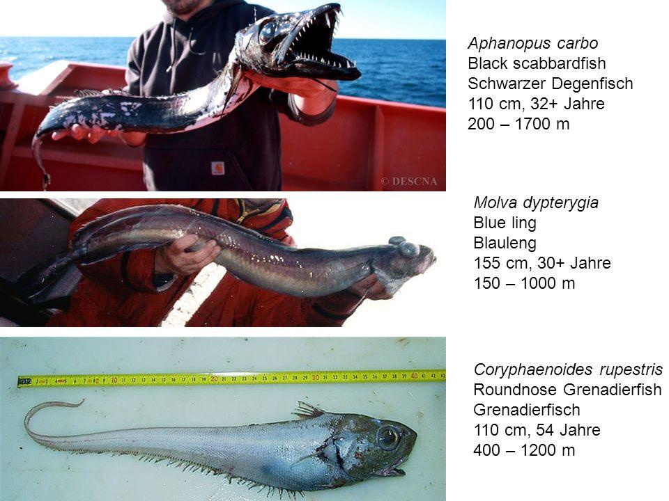 Aphanopus carbo Black scabbardfish. Schwarzer Degenfisch. 110 cm, 32+ Jahre. 200 – 1700 m. Molva dypterygia.