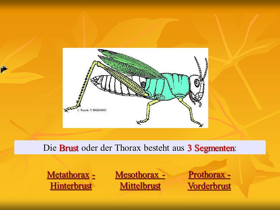 Die Brust oder der Thorax besteht aus 3 Segmenten: