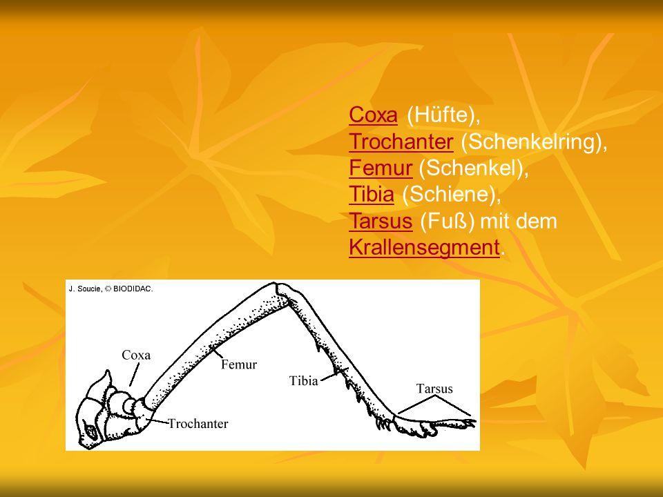 Coxa (Hüfte), Trochanter (Schenkelring), Femur (Schenkel), Tibia (Schiene), Tarsus (Fuß) mit dem Krallensegment.