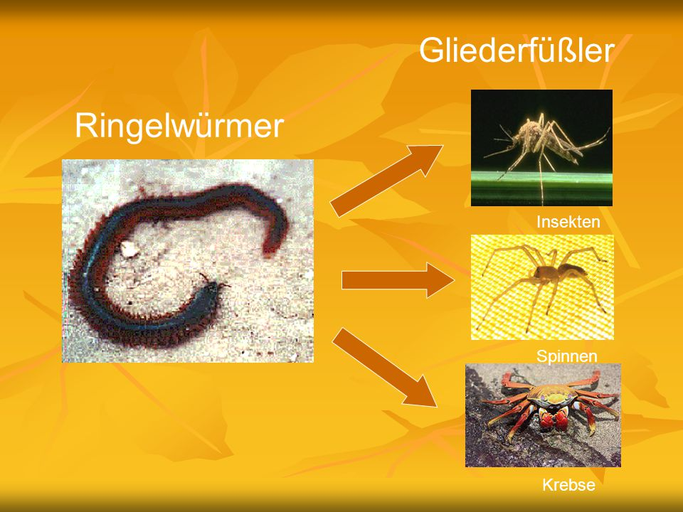 Gliederfüßler Ringelwürmer Insekten Spinnen Krebse