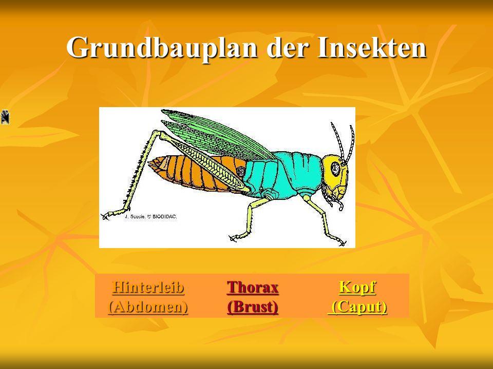 Grundbauplan der Insekten
