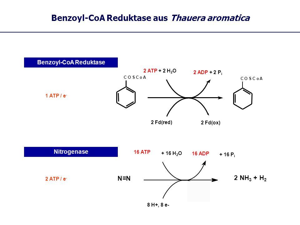 Benzoyl-CoA Reduktase aus Thauera aromatica