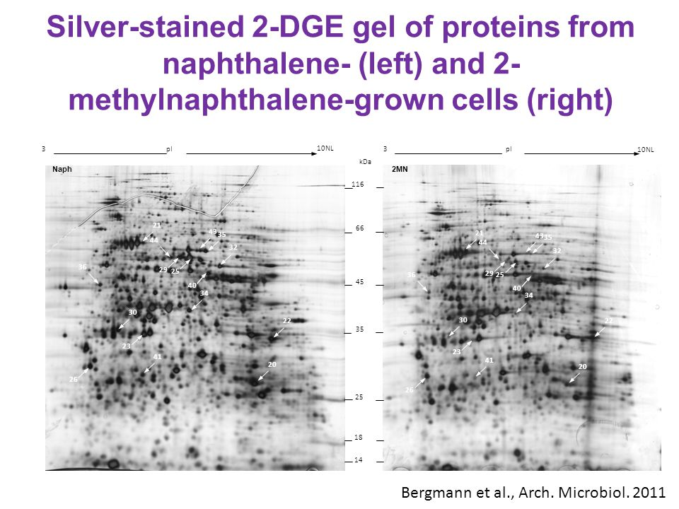 Silver-stained 2-DGE gel of proteins from naphthalene- (left) and 2-methylnaphthalene-grown cells (right)