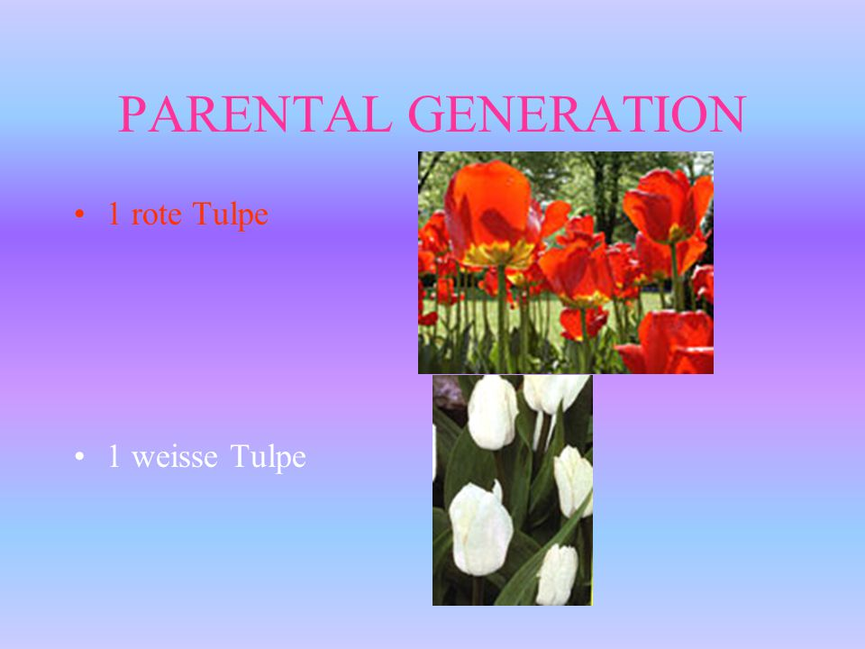 PARENTAL GENERATION 1 rote Tulpe 1 weisse Tulpe