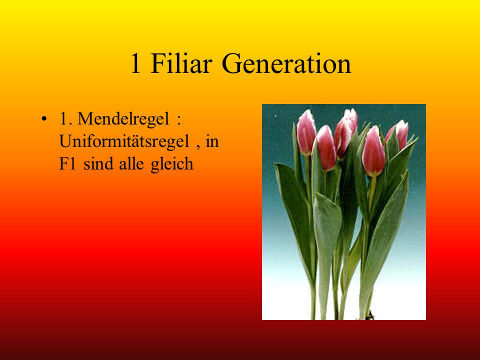 1 Filiar Generation 1. Mendelregel : Uniformitätsregel , in F1 sind alle gleich
