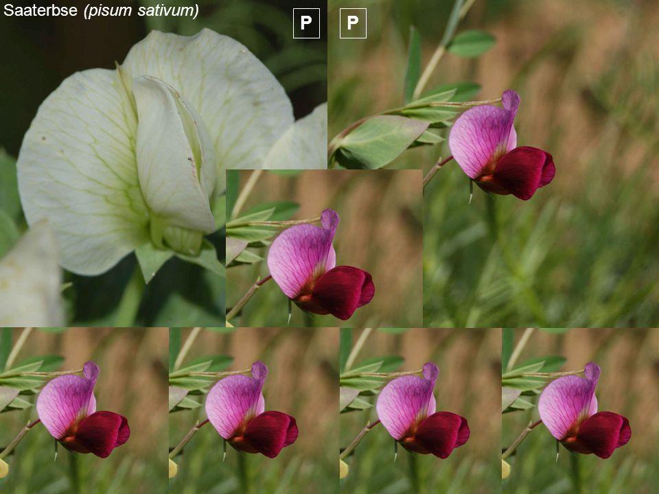 Saaterbse (pisum sativum)