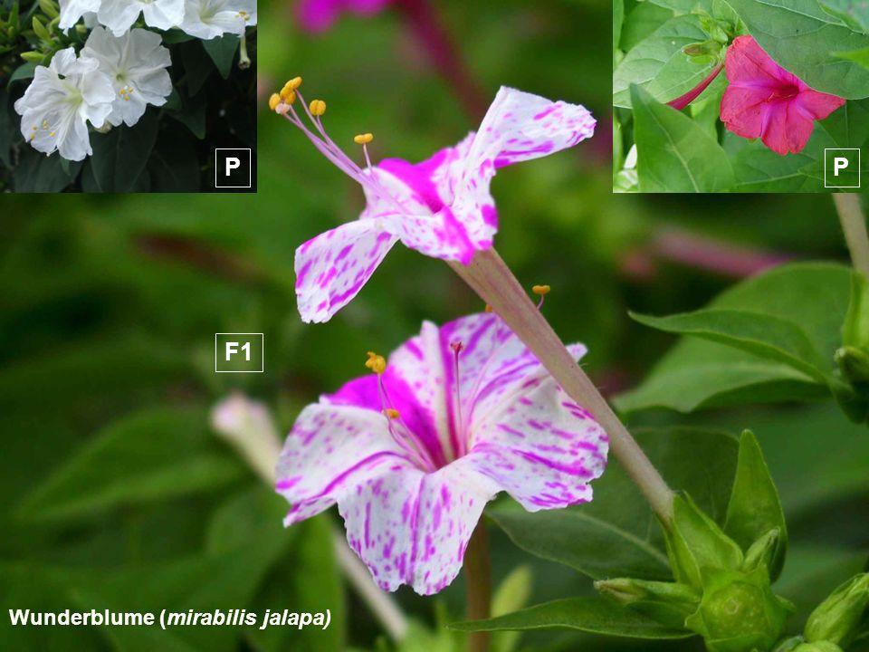 P P F1 Wunderblume (mirabilis jalapa)