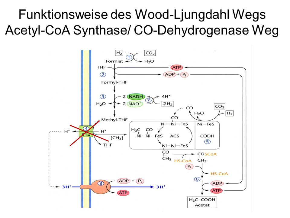 Funktionsweise des Wood-Ljungdahl Wegs Acetyl-CoA Synthase/ CO-Dehydrogenase Weg