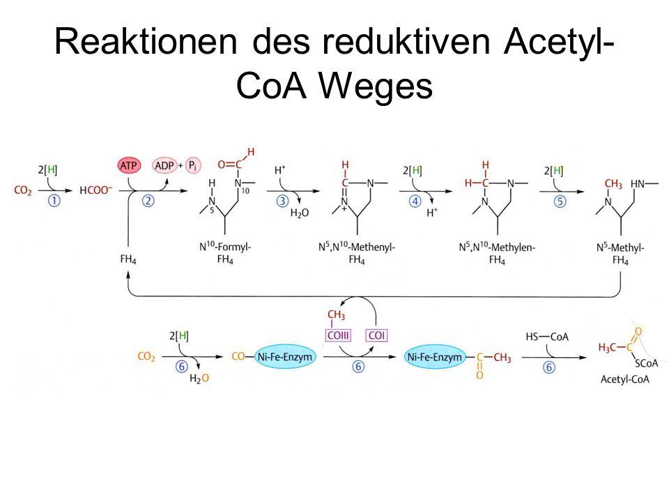 Reaktionen des reduktiven Acetyl-CoA Weges