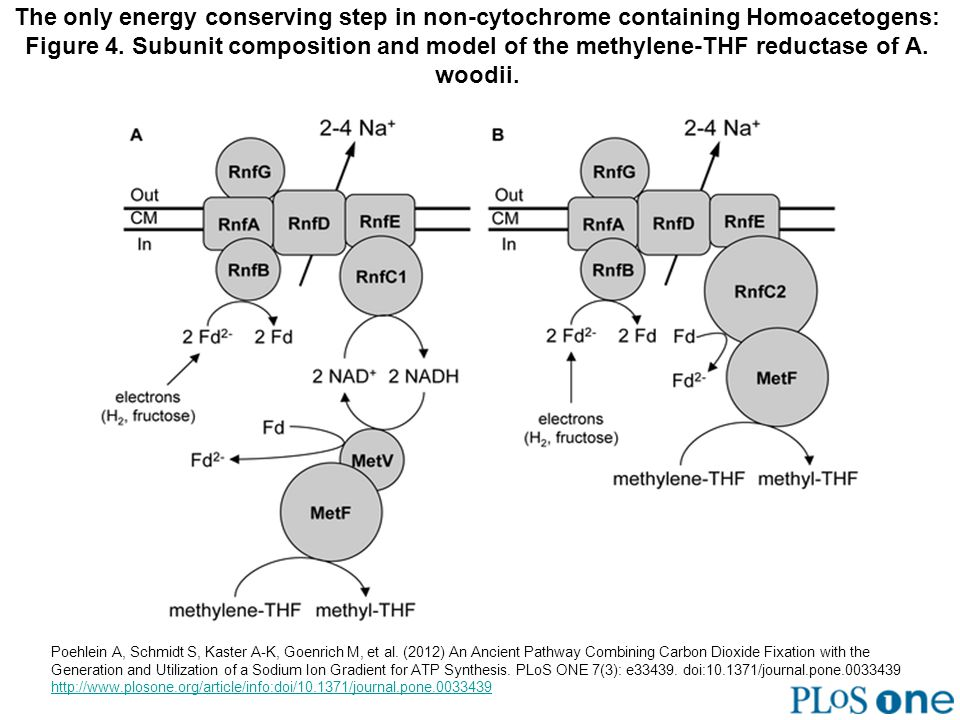 The only energy conserving step in non-cytochrome containing Homoacetogens: