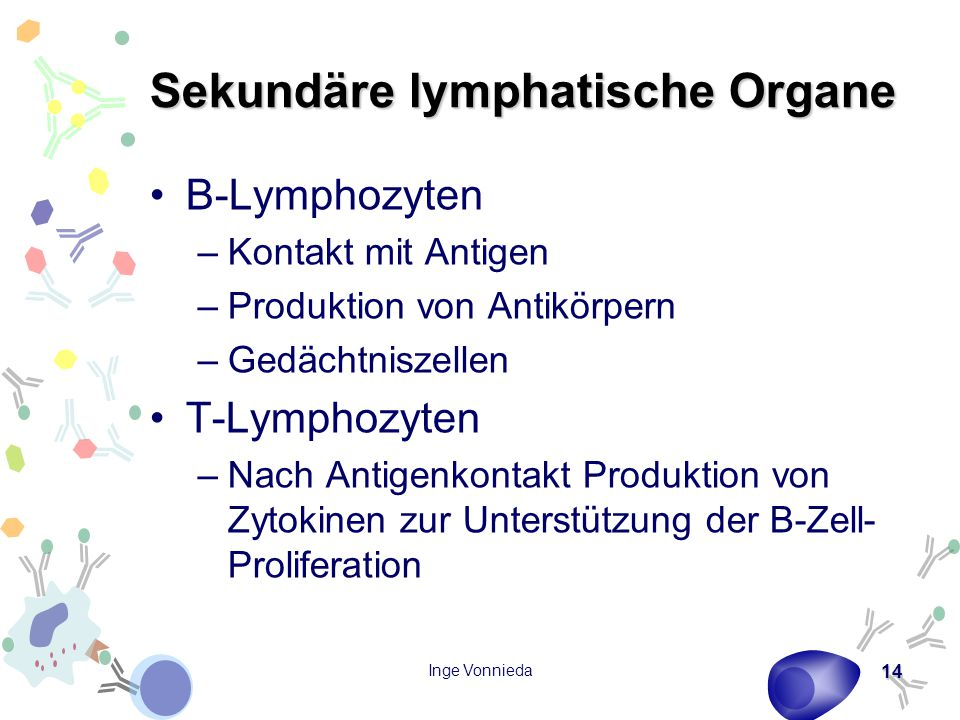 Sekundäre lymphatische Organe