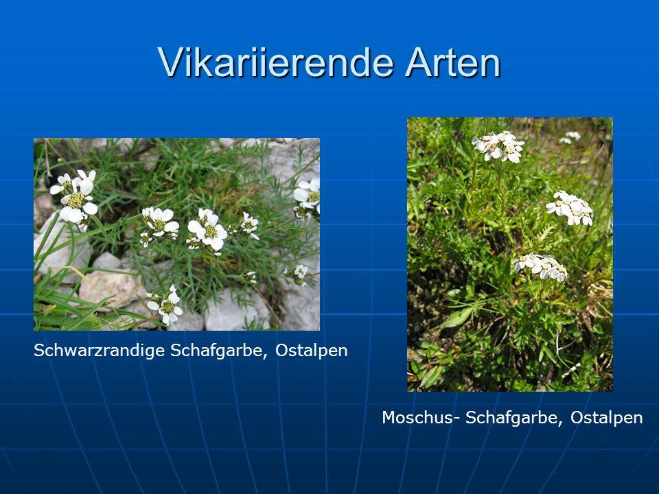 Vikariierende Arten Schwarzrandige Schafgarbe, Ostalpen