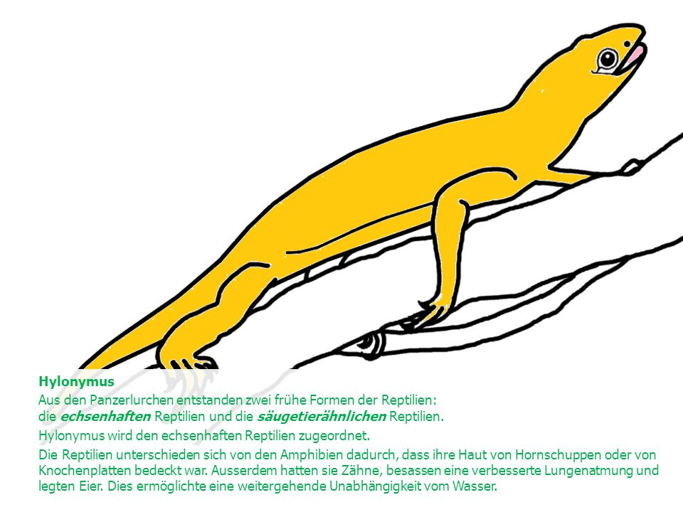 Hylonymus Aus den Panzerlurchen entstanden zwei frühe Formen der Reptilien: die echsenhaften Reptilien und die säugetierähnlichen Reptilien.