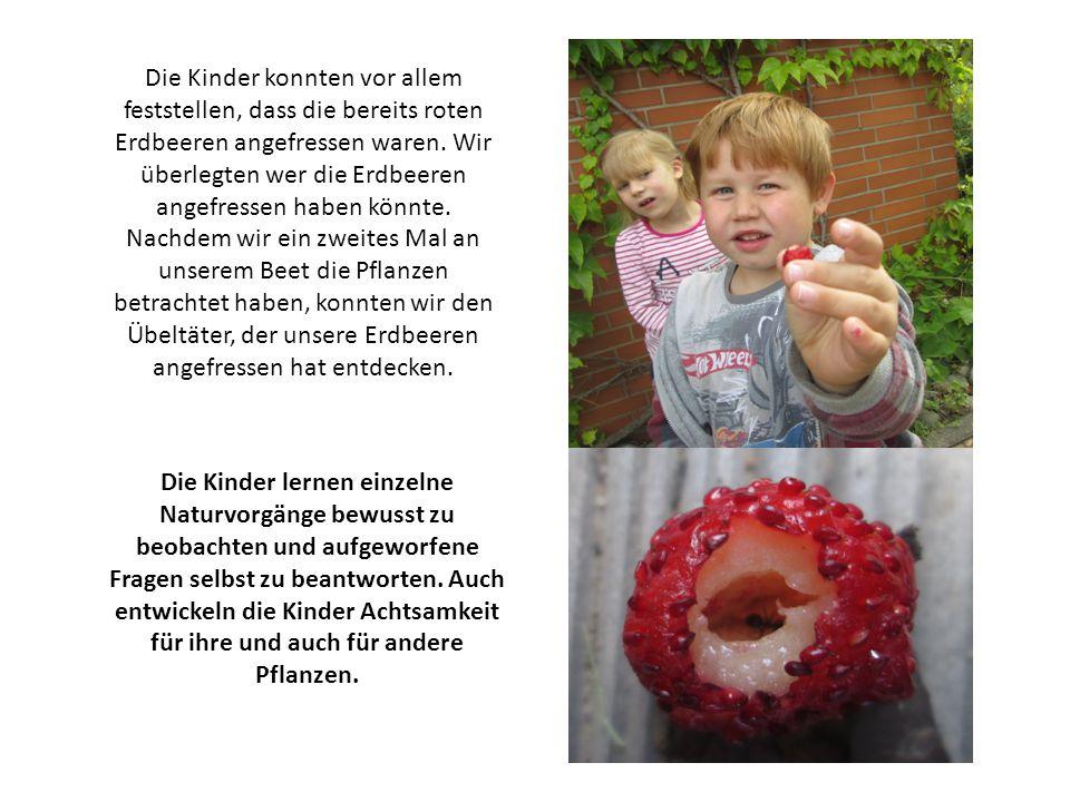 Die Kinder konnten vor allem feststellen, dass die bereits roten Erdbeeren angefressen waren. Wir überlegten wer die Erdbeeren angefressen haben könnte. Nachdem wir ein zweites Mal an unserem Beet die Pflanzen betrachtet haben, konnten wir den Übeltäter, der unsere Erdbeeren angefressen hat entdecken.