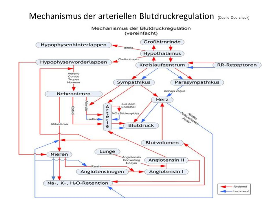 Mechanismus der arteriellen Blutdruckregulation (Quelle Doc check)
