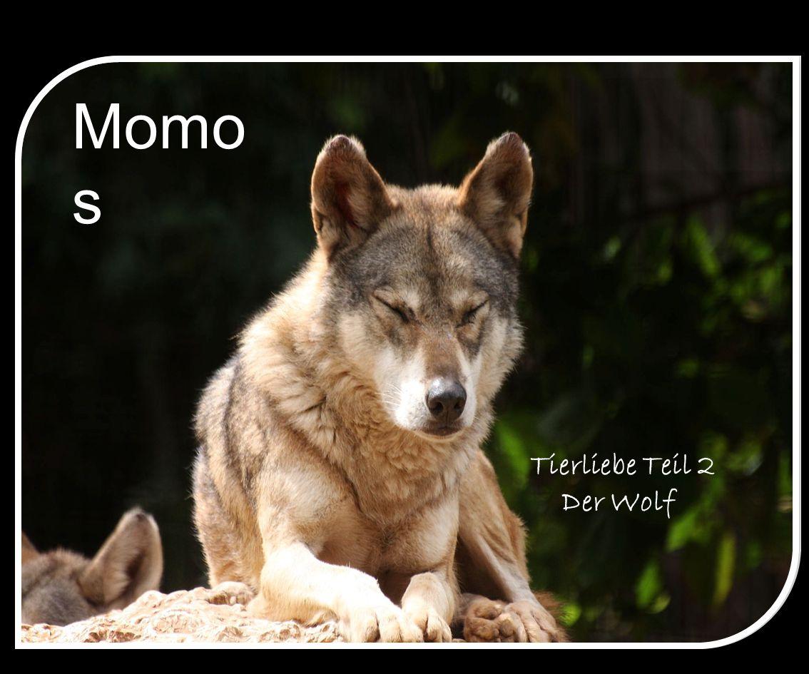 Momos Tierliebe Teil 2 Der Wolf